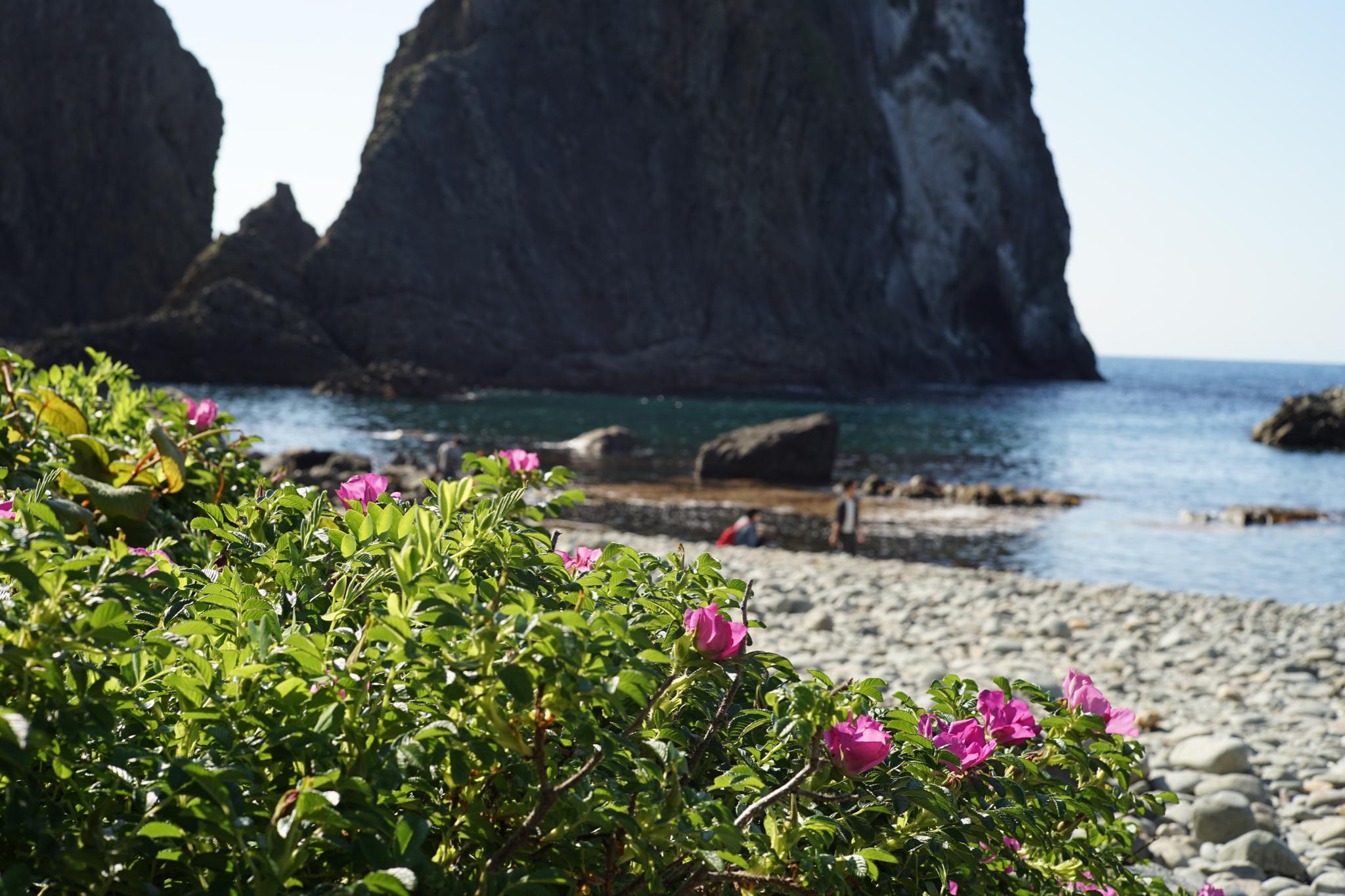 島武意海岸に咲くハマナス