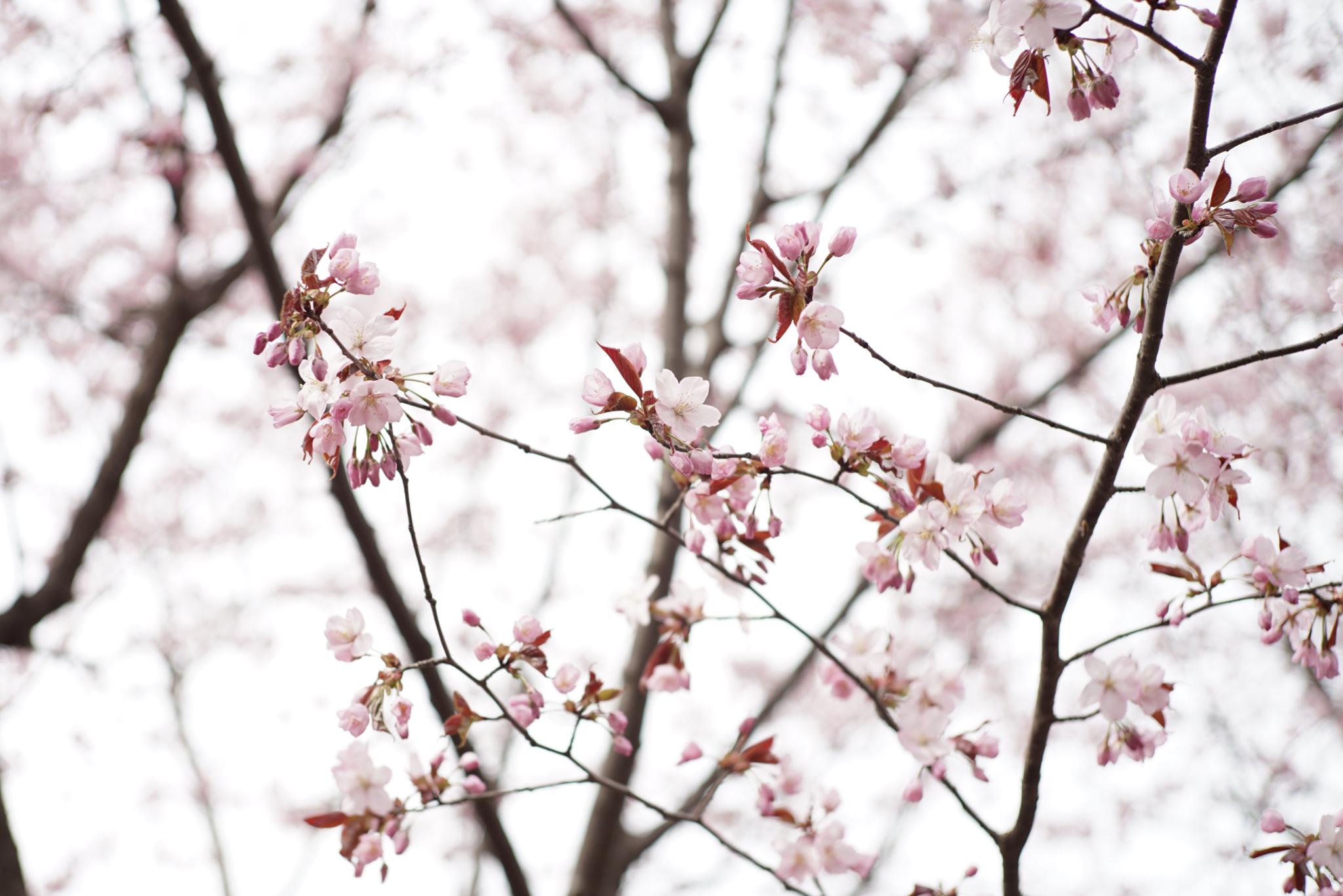 4月28日 円山公園 (1)