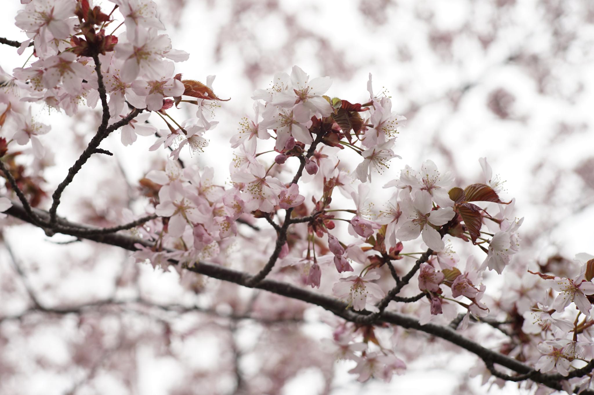 4月28日 円山公園 (3)